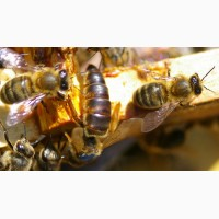 Пчеломатки плодные пчелы пчелопакеты