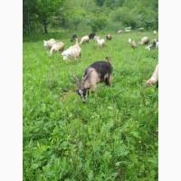 Продаються молочні кози