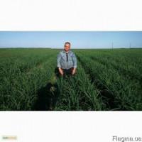 Фермерское хозяйство реализует элитный посадочный материал чеснока прошедший проверку в се