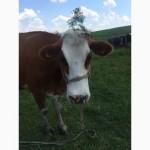 Продам хорошу корову
