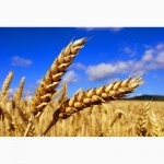 Покупаем пшеницу с места и в порту
