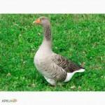 Продам домашних гусей не дорого