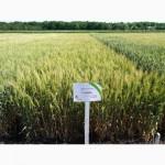 Пшеница озимая Славна