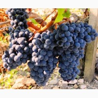 Продам виноград МЕРЛО 10т