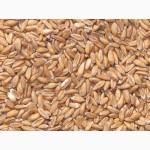 Продам пшеницу спельту