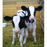 Продам бычков 0-5 дней (молочные)