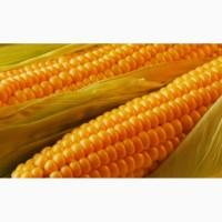 Купим кукурузу в Сумской области. Форма оплаты нал/безнал