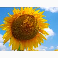 NS OSKAR насіння соняшнику сербської селекції