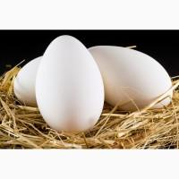 Продаємо інкубаційне яйце гусей породи Велика сіра