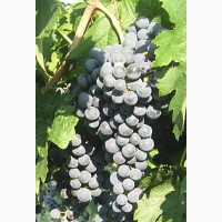 Продам виноград технических сортов:Кабарне-Совиньон, Мерло