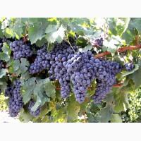 Продам виноград технических сортов
