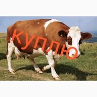 Куплю коров любой упитанности любого веса