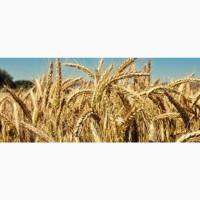 Семена озимой пшеницы БУНЧУК