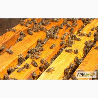 Пчелопакеты, пчелосемьи карпатской породы с высокопродуктивными матками