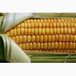 Подсолнечник, семена подсолнечника, гибриды подсолнечника, кукуруза, гибриды кукурузы, сзр
