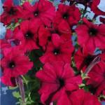 Продам семена Петуния крупноцветковая Тоуга F1