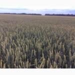 Пшеница Озимая Графиня