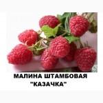 Продам саженцы малины Казачка
