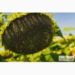 Семена подсолнуха устойчивые к вовчку ЛГ 5580- Новая Тунка