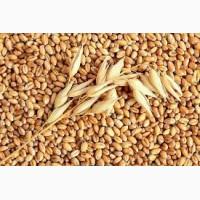 Закупаем пшеницу 1-6 кл на самовывоз