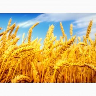 Закупаем пшеницу классовую и фуражную.По всей территории Украины