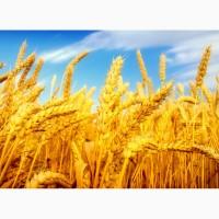 Закупаем пшеницу классовую и фуражную