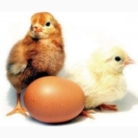 Оригінальні інкубаційні яйця курей Ломан