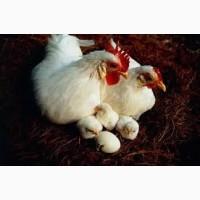 Предлагаем приобрести инкубационные яйца кур Ломан Вайт и Ломан Браун