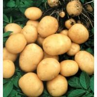 Молодой картофель сорта Ривьера, Миневра, розовые сорта