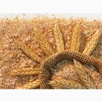 Насіння твердої пшениці, семена твердой пшеницы трансгенный сорт двуручки denton