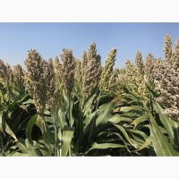 Семена зернового сорго Спринт W, 115-125 дней