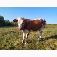Продаються дійні корови, тільні телиці і телята