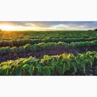 Подсолнечник урожай 2020