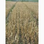 Семена пшеницы озимой - сорт Трипольская. 1 репродукция