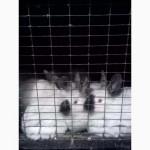 Продам кролей пароды Калифорния