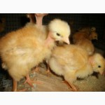 Суточные и подрощенные цыплята Голошейка и Редбро (280-300 яиц)