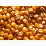 Купляємо кукурудзу у с/г виробників