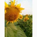 Посевной подсолнечник под евролайтинг Аракар семена подсолнуха 2018