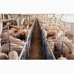 Продам свиней живым весом Херсонская область