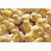 Курчата породи Ломан Браун и Ломан Вайт