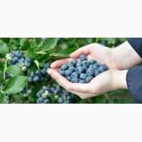 Житомирская область! срочно!!!!!!!Продадим голубику садовую (до 5 тонн)