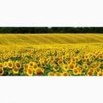 Продам семена подсолнечника Златсон (гибрид F1)