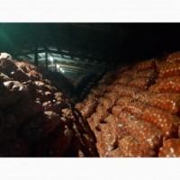 Продам лук сорт bosco Насонов сетках по 20 кг