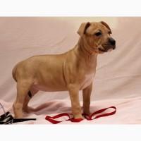 Очень крупные и красивые щенки Американского Стаффордширского терьера, ам.стаффа, АСТ
