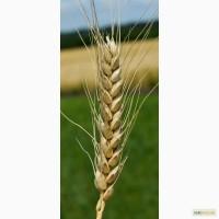 Семена озимой пшеницы Бунчук, 278-283 дня, урожайность 75-89 ц/га