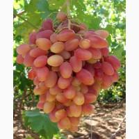 Виноград столовый элитных сортов, 70 км от Одессы