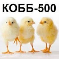 Яйца инкубационные КОББ500 от элитного стада, миражированные