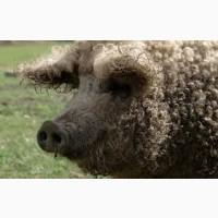 Свині мангалиця