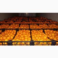 Сочные мандарины от 20 тонн в любую точку России