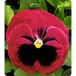 Семена фиалки - Pansy F1 (Китано)